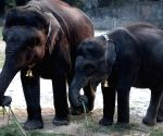 Cow-elephants at Alipore Zoological Gardens