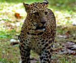 Leopards up from 7,910 to 12,852 in India's tiger range landscapes