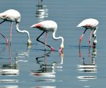 KUWAIT KUWAIT CITY FLAMINGOES
