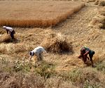 PAKISTAN LAHORE AGRICULTURE WHEAT HARVEST