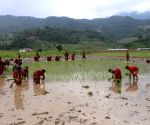 NEPAL LALITPUR PADDY DAY RICE PLANTATION