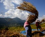 NEPAL LALITPUR DAILY LIFE RICE HARVEST