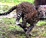 Leopard rescued from chicken coop, released into forest