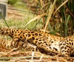 Leopard sighting in densely populated Srinagar area triggers panic