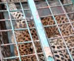 Leopard strays into girls' hostel in Guwahati, rescued