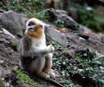 CHINA GANSU YUHE GOLDEN MONKEY
