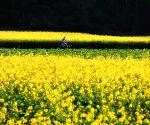 CHINA YUNNAN LUOPING RAPE FLOWERS