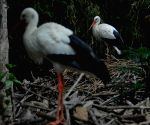 INDONESIA MALANG WHITE STORK