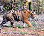 Man killed by tiger in Dudhwa Reserve