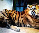 Free Photo: Karnataka's captured tiger healthy, under observation