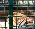 Captured tiger to be treated at Mysuru Zoo