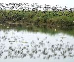 Migratory birds at Ganga river