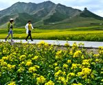 CHINA GANSU MINLE RAPESEED FLOWER