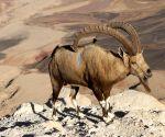 ISRAEL-MITZPE RAMON-WILD LIFE-NUBIAN IBEX