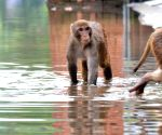 Monkeys wade through a waterlogged street