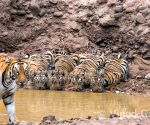 Tigress keeps guard as cubs drink water, Twitter amazes