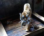 CHINA HEILONGJIANG SIBERIAN TIGER QUINTUPLETS