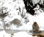 JAPAN NAGANO SNOW MONKEY HOT SPRING