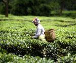 Tea business all set to return in Doon valley