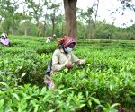 Assam tea gets record prices at 1st mjunction special auction