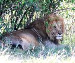 KENYA-MAASAI MARA NATIONAL RESERVE-WILDLIFE