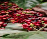 Nature at its best in Coorg's coffee plantations