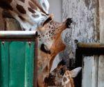 New-born giraffe at Alipore zoo