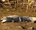 New extinct crocodile species found in Aus