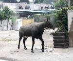 Nilgai spotted near Mandi House