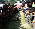 INDONESIA-NORTH SUMATRA-PIG RACE
