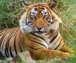Labelled man-eater, pride of Ranthambore T-24 languishes in captivity ()