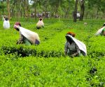 NE India tea gardens facing huge losses following lockdown