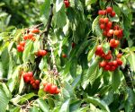 Pandemic turns blessing in disguise for Himachal cherry growers