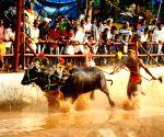 Mangalore (Karnataka): Kambala buffalo race