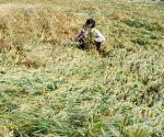 Rains damage crops in Punjab