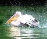Pelican at Delhi Zoo
