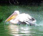 File Photo: Pelican