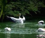 Hot Day - Pelicans beta the heat at Delhi zoo