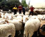 ALGERIA ALGIERS EID AL ADHA ANIMALS