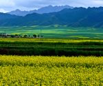 CHINA GANSU RAPE FLOWERS