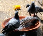Hot day - Pigeons