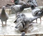 File Photo: Pigeons