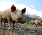 China to tap pork reserves over swine fever