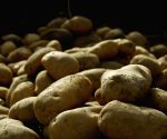 Eating potato as effective as carbohydrate gels: Study