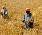 Punjab procures 125L MT wheat