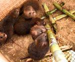 CHINA GUANGXI BAMBOO RAT BREEDING
