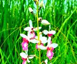 Free Photo: Rare orchid plant found in Dudhwa National Park