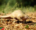 Rare pangolin rescued near Agra