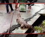 8-foot-long crocodile comes out of drain in Maharashtra town
