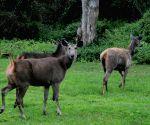 Sambar deers play at Bandeepura National Park